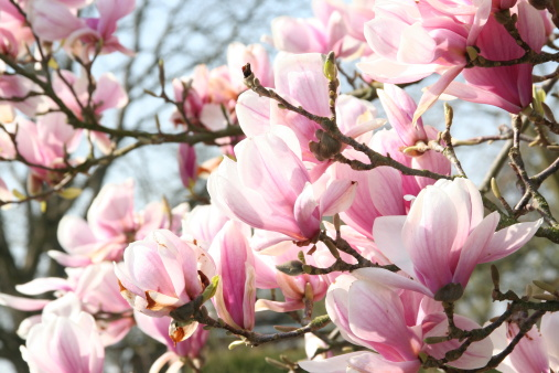 Magnolia「Magnolia Blossom」:スマホ壁紙(9)