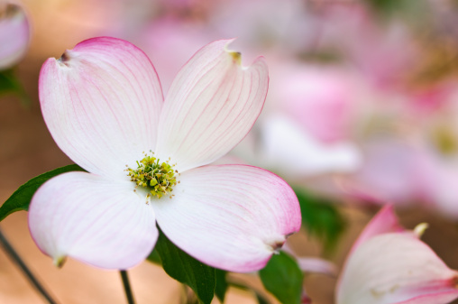 Dogwood「Pink flowering dogwood blossoms」:スマホ壁紙(12)