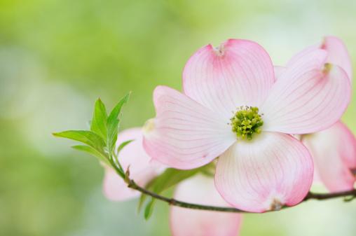 Dogwood「Pink flowering dogwood blossoms」:スマホ壁紙(8)