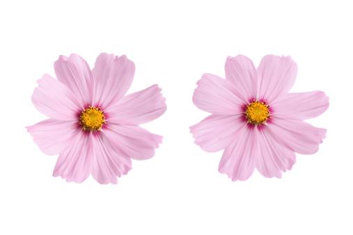 コスモス「ピンクの花」:スマホ壁紙(12)