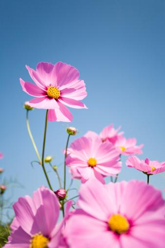 コスモス「ピンクの花」:スマホ壁紙(7)