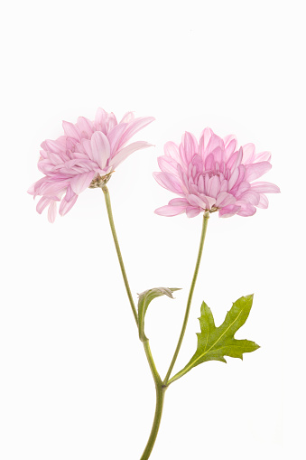 Plant Part「pink flower with stem on white background studio」:スマホ壁紙(6)
