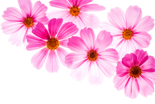 Cosmos Flower「Pink flowers on a bright white background」:スマホ壁紙(3)