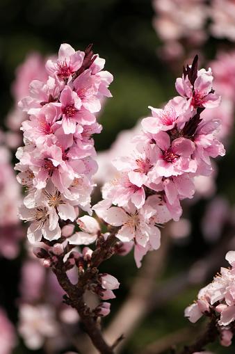 Peach「Pink Flowers of Peach Fruit Tree Saturn」:スマホ壁紙(1)