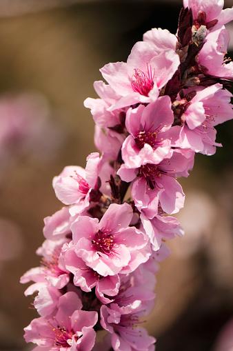 Peach「Pink Flowers of Peach Fruit Tree Saturn」:スマホ壁紙(2)
