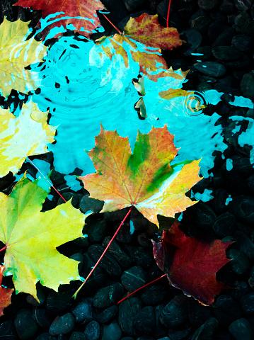 セイヨウカジカエデ「フローティング秋の葉」:スマホ壁紙(3)