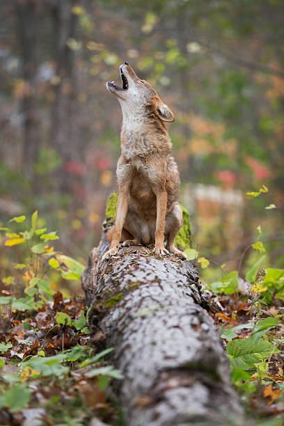 Howling coyote.:スマホ壁紙(壁紙.com)