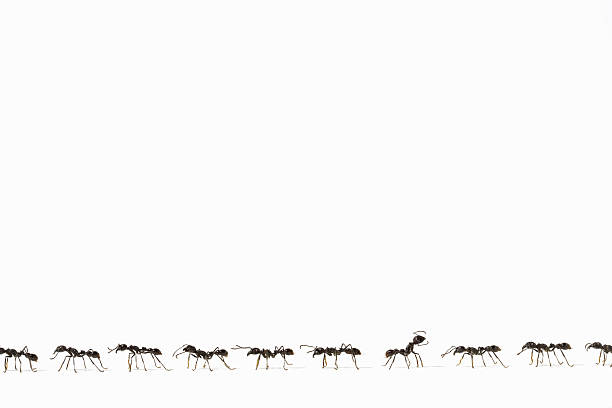 Ants (Eciton quadrigtume) in line, one facing opposite way, side view (Digital Composite):スマホ壁紙(壁紙.com)