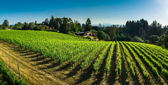 Red Grape「Pinot Noir Vineyard in Sonoma County, CA - Aerial Shot」:スマホ壁紙(18)