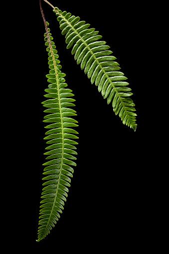Uncultivated「Blechnum spicant (hard-fern, deer fern)」:スマホ壁紙(11)
