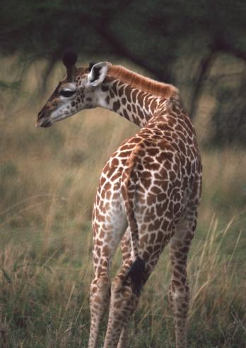 Giraffe「Massai Giraffe」:スマホ壁紙(15)
