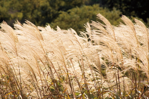 Japanese pampas grass「Field of Pampas grass, Hokuto, Yamanashi Prefecture, Japan」:スマホ壁紙(5)