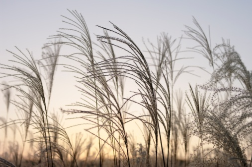 Japanese pampas grass「Field of pampas grass, Soni Plateau, Nara Prefecture, Japan」:スマホ壁紙(1)