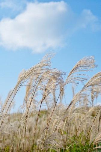 Japanese pampas grass「Field of pampas grass, Soni Plateau, Nara Prefecture, Japan」:スマホ壁紙(17)
