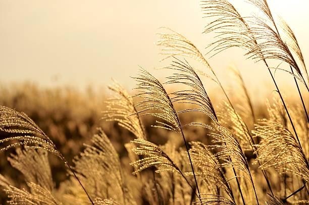 Field of pampas grass, Soni Plateau, Nara Prefecture, Japan:スマホ壁紙(壁紙.com)