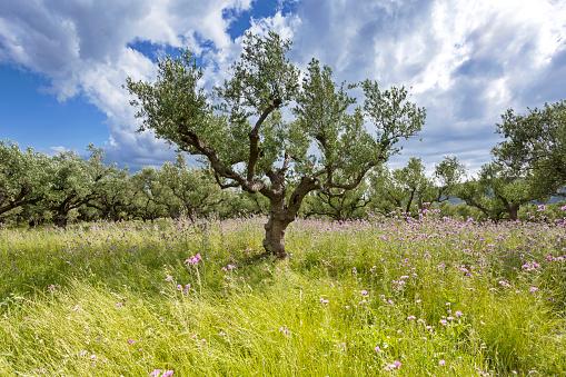 Aegean Sea「Greece, Zakynthos, Olive trees, Olea europaea」:スマホ壁紙(13)