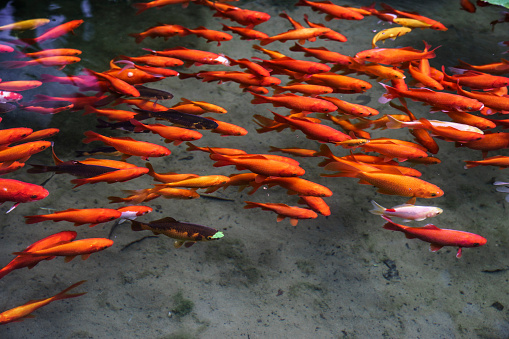 Carp「Goldfishes in a pond」:スマホ壁紙(17)