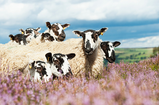 Flock Of Sheep「Mule gimmer lambs out of Dalesbred sheep on heather moorland above Pateley Bridge」:スマホ壁紙(19)