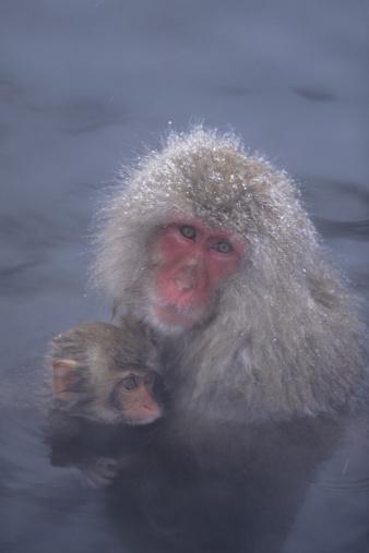 温泉「Japanese snow monkeys (Macaca fuscata) in steamy thermal pool」:スマホ壁紙(17)