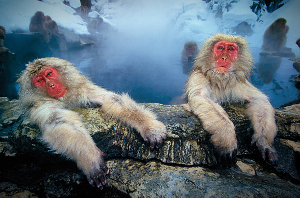 Japanese snow monkeys at hot pool:スマホ壁紙(壁紙.com)