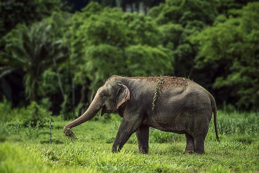 象「A wild elephant in Thailand」:スマホ壁紙(16)