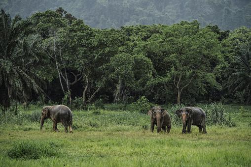 象「Wild elephants in Thailand」:スマホ壁紙(17)