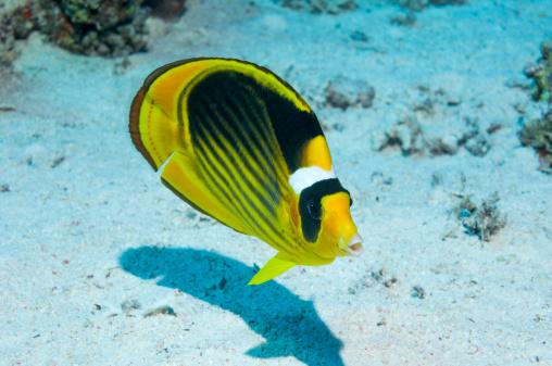 熱帯魚「Red Sea raccoon butterflyfish」:スマホ壁紙(16)