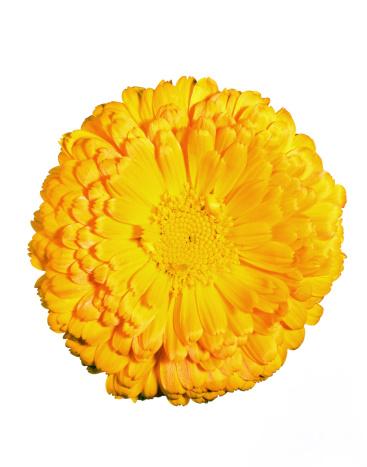 Marigold「Calendula flower」:スマホ壁紙(14)