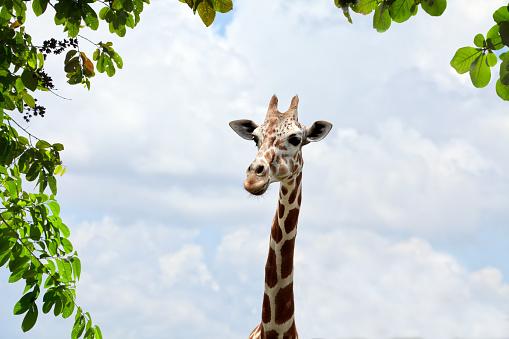 Giraffe「Close up giraffe head over cloudy sky」:スマホ壁紙(3)
