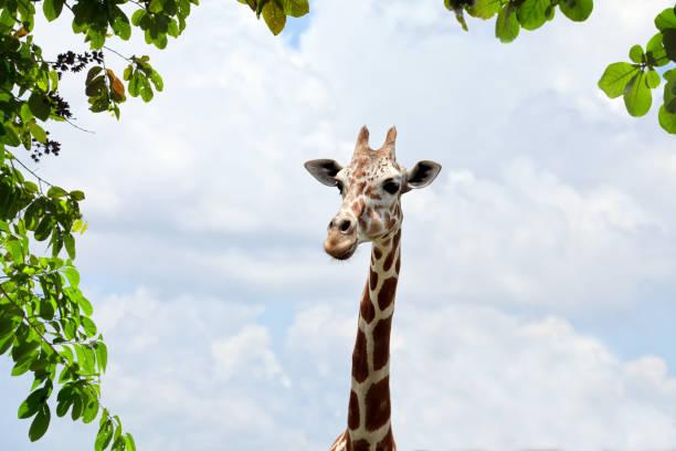 Close up giraffe head over cloudy sky:スマホ壁紙(壁紙.com)