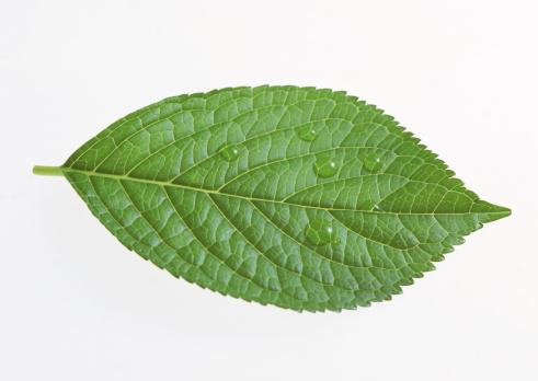 あじさい「Hydrangea leaf」:スマホ壁紙(1)