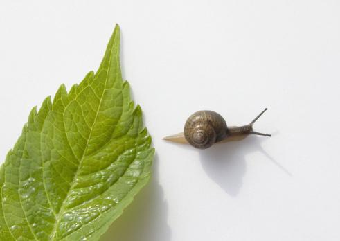 snails「Hydrangea leaf and a snail」:スマホ壁紙(10)