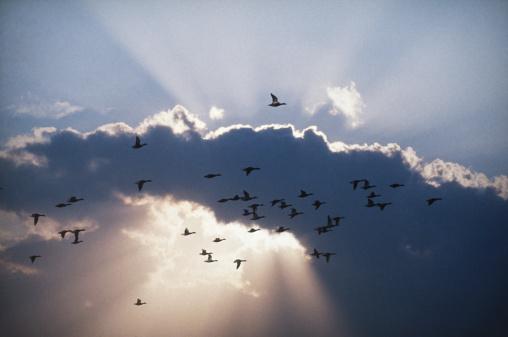 Flock Of Birds「Birds in flight」:スマホ壁紙(12)