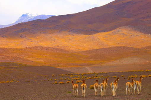 Bolivian Andes「Vicuna Guanaco group of animals, animal wildlife in Andes altiplano and Idyllic Atacama Desert, Volcanic landscape panorama – Antofagasta region, Chilean Andes, Chile, Bolívia and Argentina border」:スマホ壁紙(6)