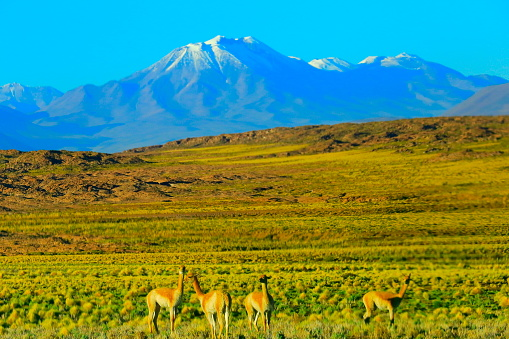 Snow scene「アンデスのアルティプラーノと牧歌的なアタカマ砂漠、野生動物、動物のビキューナ グアナコ グループ火山風景パノラマ-アントファガスタ、チリのアンデス山脈の地域のチリ、Bolívia、アルゼンチン国境」:スマホ壁紙(4)