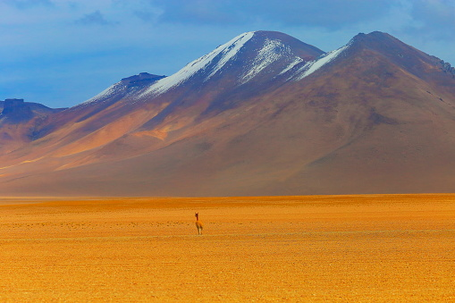 Vicuna「Vicuna Guanaco, Bolivian Andes altiplano - Atacama Desert – Potosi, Bolivia」:スマホ壁紙(6)