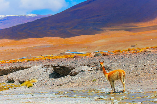 Atacama Region「Vicuna Guanaco, animal wildlife in Bolivian Andes altiplano and Idyllic Atacama Desert」:スマホ壁紙(12)