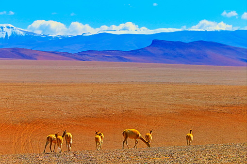 Bolivian Andes「Vicuna Guanaco, animal wildlife in Bolivian Andes altiplano and Idyllic Atacama Desert, Volcanic landscape panorama – Potosi region, Bolivian Andes, Chile, Bolívia and Argentina border」:スマホ壁紙(17)