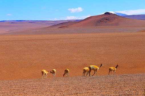 Bolivian Andes「Vicuna Guanaco, animal wildlife in Bolivian Andes altiplano and Idyllic Atacama Desert, Volcanic landscape panorama – Potosi region, Bolivian Andes, Chile, Bolívia and Argentina border」:スマホ壁紙(18)