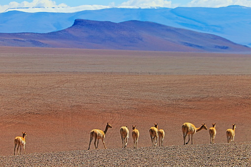 Bolivian Andes「Vicuna Guanaco, animal wildlife in Bolivian Andes altiplano and Idyllic Atacama Desert, Volcanic landscape panorama – Potosi region, Bolivian Andes, Chile, Bolívia and Argentina border」:スマホ壁紙(10)