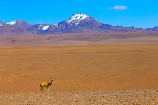 野生動物「ビキューナ グアナコ、ボリビアのアンデスのアルティプラーノの野生動物、牧歌的なアタカマ砂漠、火山の風景パノラマ-ポトシ地方、ボリビアのアンデス、チリ、Bolívia、アルゼンチン国境」:スマホ壁紙(7)