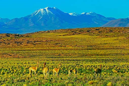 Vicuna「Vicuna Guanaco, animal wildlife in Bolivian Andes altiplano and Idyllic Atacama Desert, Volcanic landscape panorama – Potosi region, Bolivian Andes, Chile, Bolívia and Argentina border」:スマホ壁紙(17)