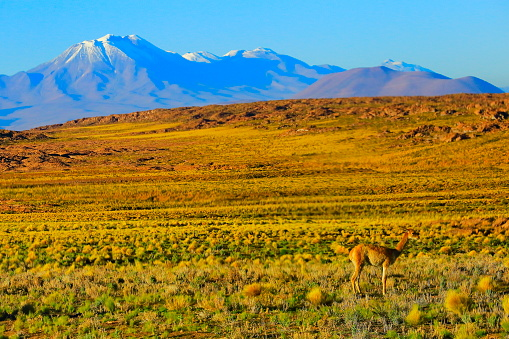 Bolivian Andes「Vicuna Guanaco, animal wildlife in Bolivian Andes altiplano and Idyllic Atacama Desert, Volcanic landscape panorama – Potosi region, Bolivian Andes, Chile, Bolívia and Argentina border」:スマホ壁紙(1)