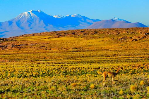 アメリカ合州国「ビキューナ グアナコ、ボリビアのアンデスのアルティプラーノの野生動物、牧歌的なアタカマ砂漠、火山の風景パノラマ-ポトシ地方、ボリビアのアンデス、チリ、Bolívia、アルゼンチン国境」:スマホ壁紙(18)