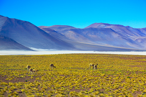 Bolivian Andes「Vicuna guanaco, animal wildlife in Bolivian Andes altiplano and Idyllic Atacama Desert, Volcanic landscape panorama – Potosi region, Bolivian Andes, Chile, Bolívia and Argentina border」:スマホ壁紙(12)