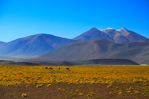 Bolivian Andes「Vicuna guanaco, animal wildlife in Bolivian Andes altiplano and Idyllic Atacama Desert, Volcanic landscape panorama – Potosi region, Bolivian Andes, Chile, Bolívia and Argentina border」:スマホ壁紙(7)