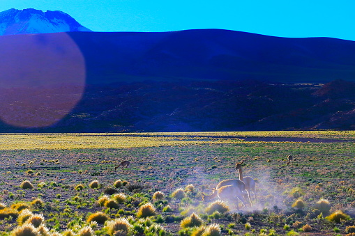 Bolivian Andes「Vicuna Guanaco, animal wildlife running free in Andes altiplano and Idyllic Atacama Desert sunrise flare, Volcanic landscape panorama – Antofagasta region, Chilean Andes, Chile, Bolívia and Argentina border」:スマホ壁紙(15)