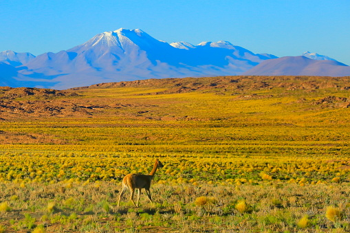 Bolivian Andes「Vicuna Guanaco, animal wildlife in Andes altiplano and Idyllic Atacama Desert, Volcanic landscape panorama – Antofagasta region, Chilean Andes, Chile, Bolívia and Argentina border」:スマホ壁紙(2)