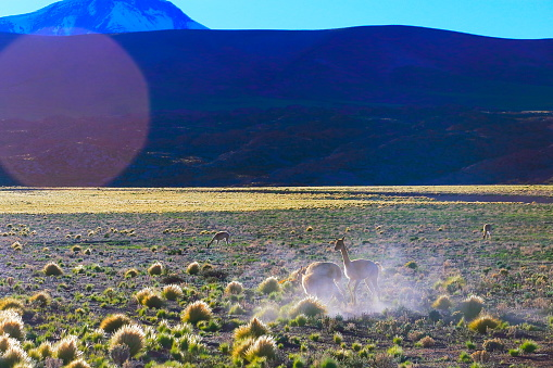 Bolivian Andes「Vicuna Guanaco, animal wildlife in Andes altiplano and Idyllic Atacama Desert, Volcanic landscape panorama – Antofagasta region, Chilean Andes, Chile, Bolívia and Argentina border」:スマホ壁紙(17)