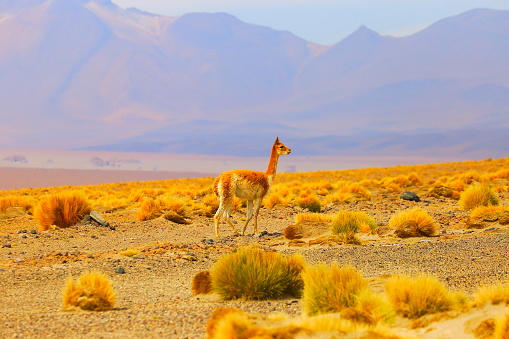Bolivian Andes「Vicuna Guanaco, animal wildlife in Andes altiplano and Idyllic Atacama Desert, Volcanic landscape panorama – Antofagasta region, Chilean Andes, Chile, Bolívia and Argentina border」:スマホ壁紙(14)